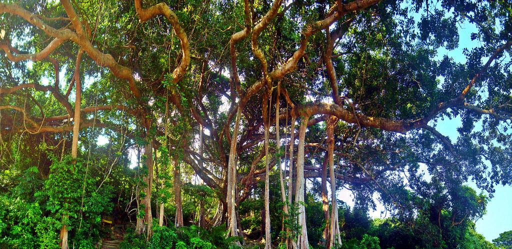 Cây đa nghìn năm tuổi tại bán đảo Sơn Trà